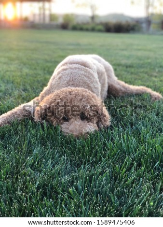 An adorable picture of a standard poodle while the sun sets behind him.