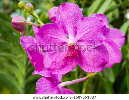 Closeup shot of beauty Vanda Orchid flower with lilac and spot on petal and yellow cover pollen blooming in tropical orchid farm. #1589551987