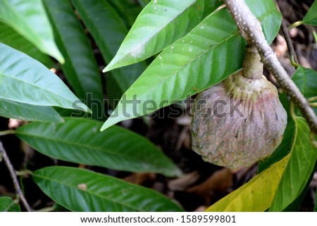 Custard apple fruit hanging on the tree branch.  #1589599801