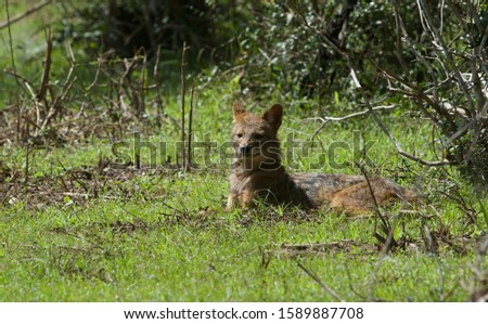 Sri Lankan Jackal in natural habitat #1589887708