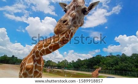 Giraffes in Safari Park are hungry.