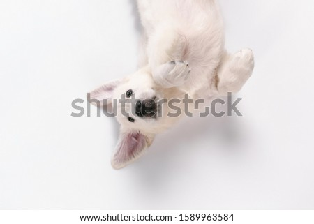 Child. Top view of english cream golden retriever playing. Cute playful doggy or purebred pet looks cute isolated on white background. Concept of motion, action, movement, dogs and pets love Royalty-Free Stock Photo #1589963584
