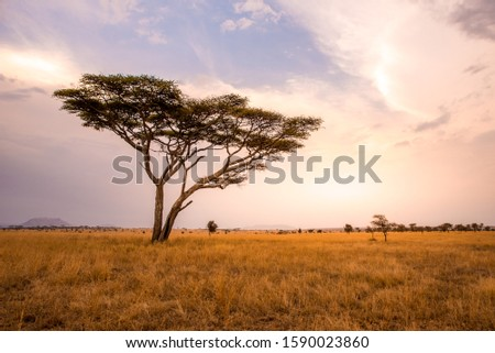 Panoramic image of a lonely acacia tree in Savannah in Serengeti National Park, Tanzania - Safari in Africa #1590023860