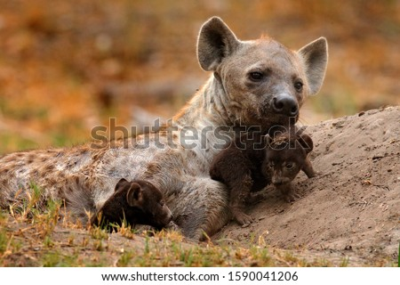 Young hyena pup, evening sunset light. Hyena, detail portrait. Spotted hyena, Crocuta crocuta, angry animal near the water hole, beautiful evening sunset and cub. Animal pup nature, Okavango, Botswana Royalty-Free Stock Photo #1590041206