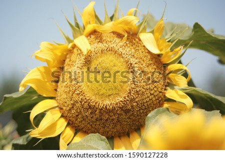 beautiful sunflower picture in summer season