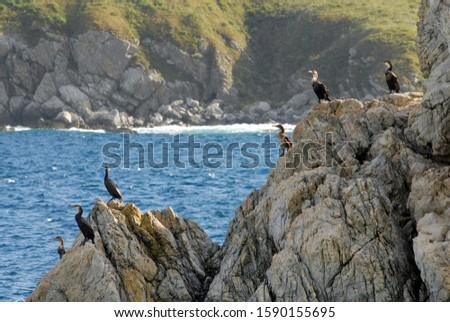 Japanese cormorants on the rock in the sea. Far Eastern State Marine Reserve, Gamow Peninsula, Primorsky Krai (Primorye), Far East, Russia. Royalty-Free Stock Photo #1590155695
