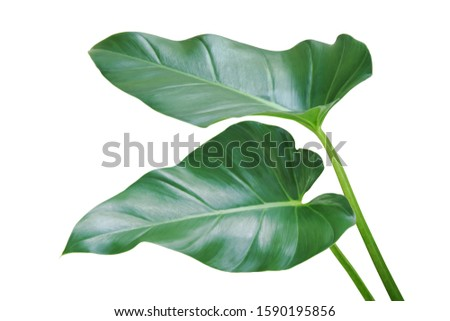 Green Leaves of Philodendron Plant Isolated on White Background #1590195856