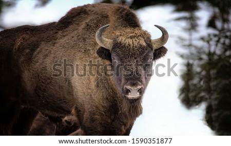 Large brown wisent in the winter forest. Wild European brown bison Bison Bonasus in winter. European wisent in natural habitat. The best photo. Bayerischer Wald. #1590351877