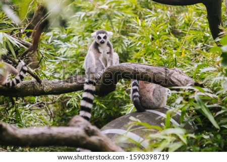 Ring-tailed Lemur on the tree. Lemur catta looking at camera. Beautiful grey and white lemurs. African animals in the zoo