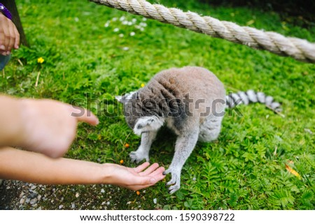 Ring-tailed Lemur eating out of a persons hand. A people is feeding the ring-tailed lemurs. Lemur catta. Beautiful grey and white lemurs. African animals in the zoo