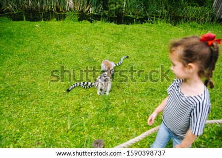 A young girl with curly braun hair having fun with Ring-tailed Lemur. Lemur catta looking at camera. Beautiful grey and white lemurs. African animals in the zoo. Selective focus