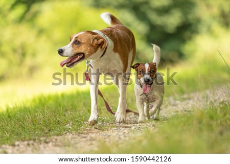 Two cute enchanting dogs are walking together without humans. Little Jack Russell Terrier doggy and a big mongrel hound #1590442126