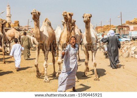 Africa, Egypt, Cairo, Birqash. October 5, 2018. Camel trader at the Souq al-Gamaal weekly camel market. #1590445921