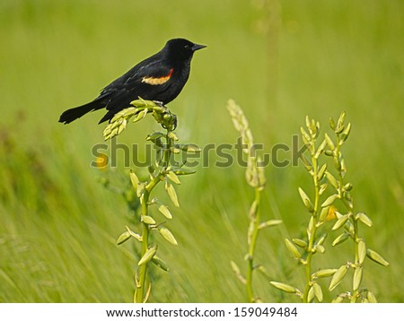 Blackbird #159049484