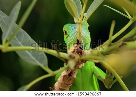 Baby green Iguana on branch, animal closeup, reptile closeup #1590496867