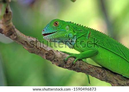 Baby green Iguana on branch, animal closeup, reptile closeup #1590496873