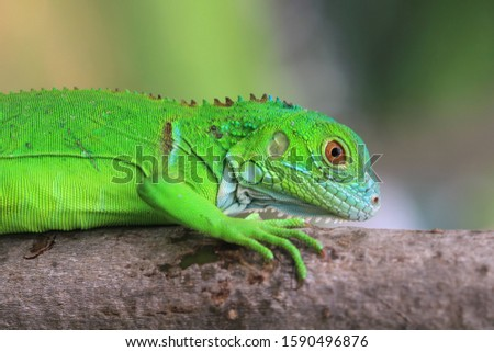 Baby green Iguana on branch, animal closeup, reptile closeup #1590496876
