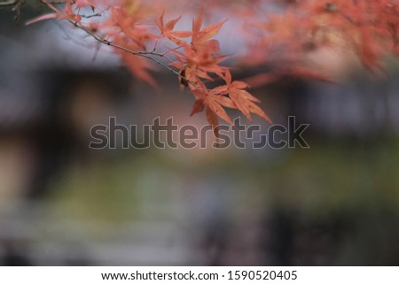 red and orange maple leaves hanging from their branches with blur background  #1590520405