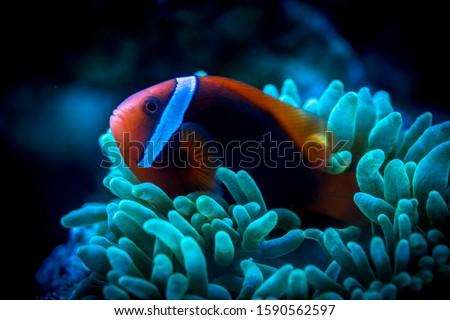 Tomato Clownfish and host anemone in underwater