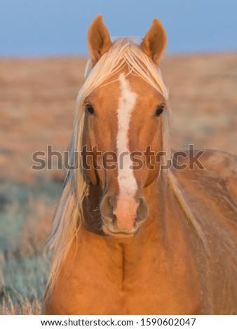 Wild palomino horse in the red desert of Wyoming #1590602047