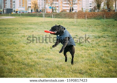 Active Black Cane Corso Dog Play Running Jumping With Plate Toy Outdoor In Park. Dog Wears In Warm Clothes. Big Dog Breeds. #1590817423