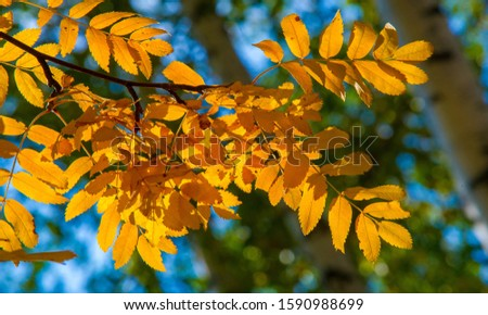 Autumn landscape photography, mountain ash in full beauty, illuminated by the colors of autumn. A tree with fruits in the form of a bunch of orange-red berries, as well as the most berries #1590988699