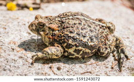 Northern Toad sitting on a granite rock. #1591243072