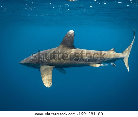 Oceanic white tip shark swimming in the blue waters of Hawaii