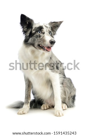 Studio shot of an adorable border collie sitting and looking satisfied
