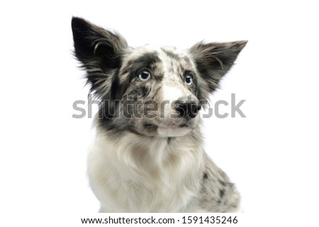 Portrait of an adorable border collie looking curiously