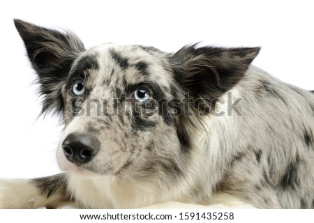 Portrait of an adorable border collie lying and looking curiously