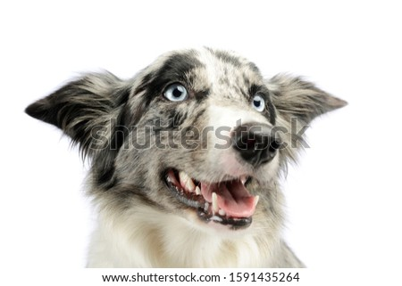 Portrait of an adorable border collie looking satisfied
