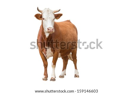 Cow isolated on white #159146603