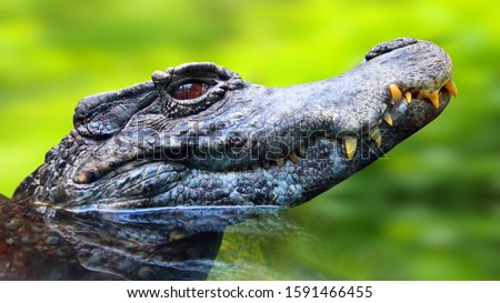 The Black Caiman - Melanosuchus Niger is critically endangered Orinoco crocodile. Largest predator in the Amazon ecosystem. Wildlife photo from Brazil nature. Animal theme.