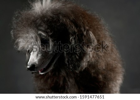 Portrait of an adorable poodle looking shy