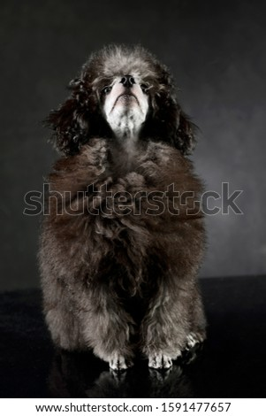 Studio shot of an adorable poodle looking curious