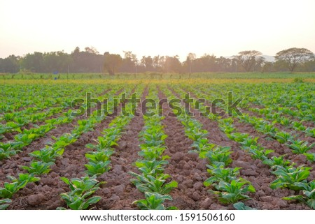 A front selective focus picture of green tobacco field at agriculture farm in the morning sunrise.