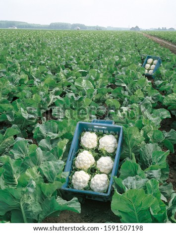 Group of Cauliflowers. Cauliflower Harvesting. Cauliflower White Head. Green Leaves of Cauliflower,  Cauliflower, Growing in the Field #1591507198