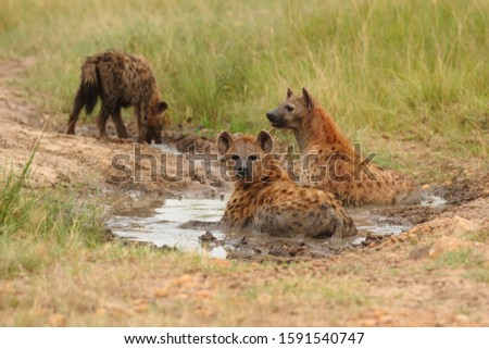 A group of hyenas in a muddy pond surrounded by grass covered fields