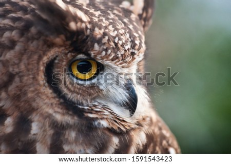 fantastic oil picture, african owl beak closed, ears raised green background