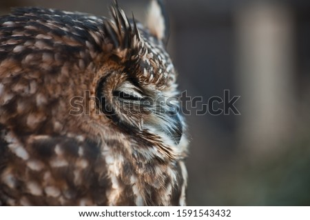 Fantastic owl picture, african owl eyes closed beak closed, ears raised white and gray background