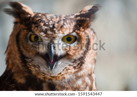 Fantastic owl picture, african owl close-up ears raised open beak eyes aggressive look