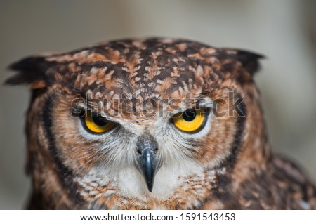 Fantastic owl picture, african owl close-up fallen ears closed beak eyes aggressive look