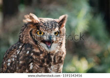 Fantastic oil picture, african owl close-up ears raised open beak eyes aggressive look