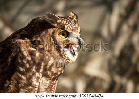 Fantastic owl picture, african owl raised eyes open beak aggressive look background tree branches
