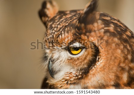 Fantastic owl picture, african owl with plain ground brown background