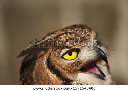 Owl picture, african owl with open beak, mouth and ears raised and light background