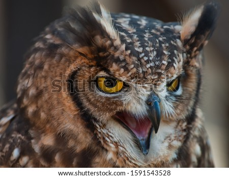 Fantastic owl picture, african owl with aggressive look open beak, ears raised