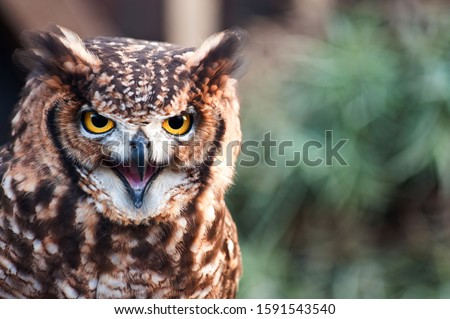 Fantastic owl picture, african owl with aggressive look open beak, ears raised green background