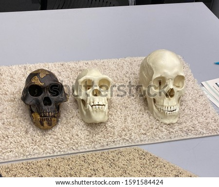 Cast of the skulls apes and a human. #1591584424